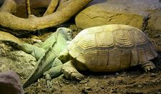 Free African Spurred Tortoise And Rhinoceros Iguana 1 Stock Photography - 1897922