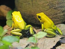 Bicolored Poison Dart Frog 2 Stock Photo