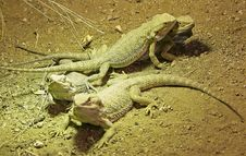 Free Bearded Dragon 11 Stock Images - 1899024