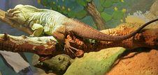 Free Rhinoceros Iguana 5 Stock Images - 1899084