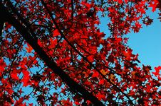 Free Red Leafs Stock Image - 1899201