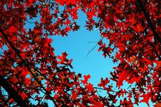 Free Red Leafs Stock Photos - 1899203