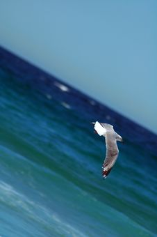 Free Flying Sea-gull Stock Image - 1899521
