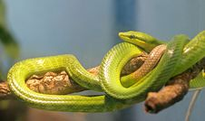 Free Red-tailed Racer Snake 1 Stock Images - 1899754