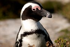 Free Penguin Close-up. Stock Photos - 1899983