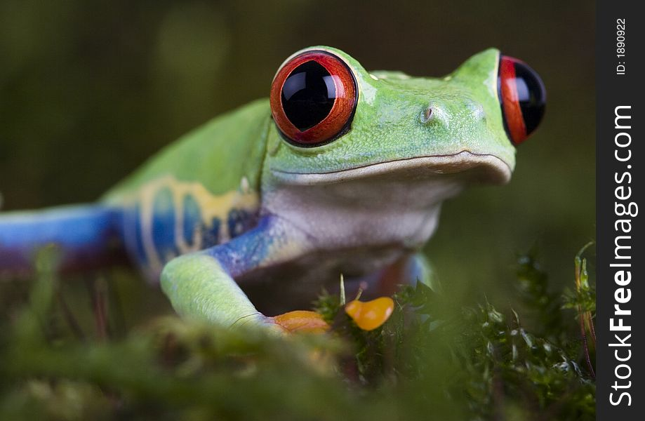 Gren frog