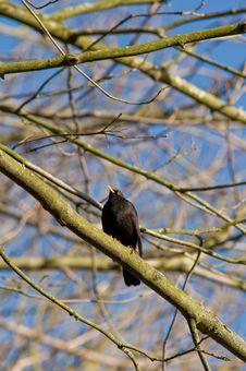 Free Blackbird Stock Photography - 18900242