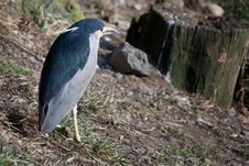 Free Night Heron Stock Photo - 18901460