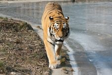 Free Tiger Between Land And Ice Stock Photo - 18901510