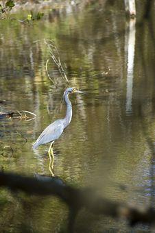 Free Little Blue Heron Stock Photo - 18902400