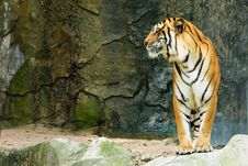 Free Bengal Tiger Standing Facing To The Side Stock Photos - 18903473