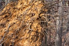 Free Uprooted Tree Royalty Free Stock Photos - 18904218