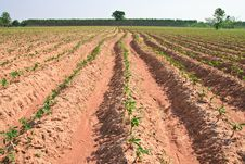 Free Cassava Field Royalty Free Stock Photo - 18904585
