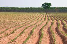 Free Cassava Field Stock Photography - 18904602