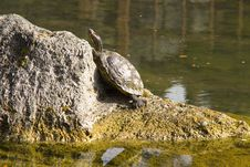 Free Red Eared Slider Turtle (Trachemys Scripta) Stock Photography - 18904642