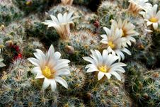 Flowers Cactus Royalty Free Stock Photo