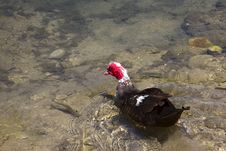 Free Muscovy Duck Swimming Royalty Free Stock Image - 18910326