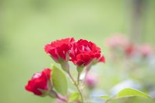 Free Beautiful Red Rose Royalty Free Stock Image - 18911226