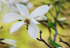 Free Beautiful Magnolia Flower Stock Photo - 18911990