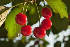 Free Cherries On The Tree Royalty Free Stock Images - 18912099
