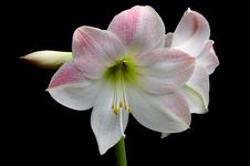 Amaryllis Royalty Free Stock Photography