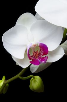 Free Orchid Stock Photos - 18912403