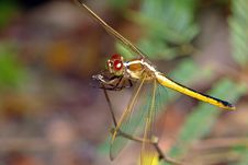 Free Dragonfly Royalty Free Stock Photos - 18913888