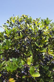Free Picconia Azorica Shrub Stock Photos - 18914073