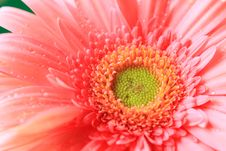 Free Pink Daisy Royalty Free Stock Photography - 18915597