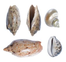 Seashell Collection Royalty Free Stock Image