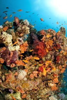 Free Vibrant Coral Reef With Bright Reds And Oranges Royalty Free Stock Photo - 18917495
