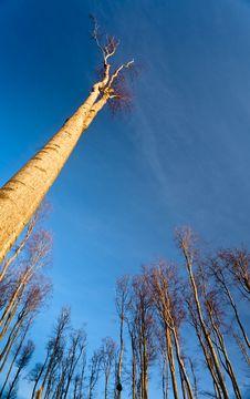 Free Tall Tree Stock Photo - 18917720