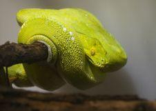 Free Green Python Royalty Free Stock Photos - 18918698