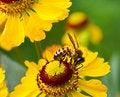 Free Little Bee On Yellow Flower Stock Photos - 18928853
