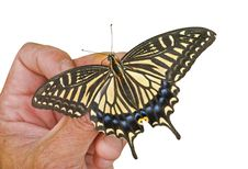 Free Butterfly (Papilio Xuthus) 31 Stock Image - 18920091