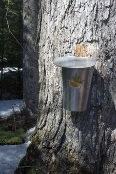 Maple Season In Spring Stock Image
