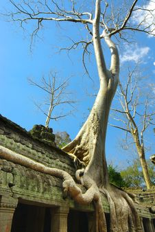 Free Huge Roots Of Tropical Tree On The  Temple. Stock Image - 18922401