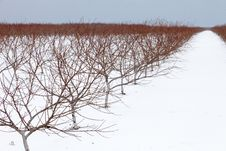 Free Vineyard On A Snowy Day Stock Photo - 18923010