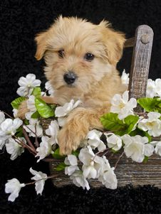 Free Puppy Sitting In Basket Of White Flowers Royalty Free Stock Photos - 18923518