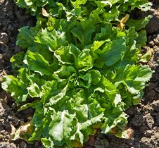 Salad In A Kitchen Garden. Royalty Free Stock Image