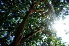 Free Sun Light And Big Tree Royalty Free Stock Photography - 18924117