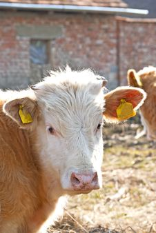 Free Young Cow With Small Horns Stock Image - 18924401