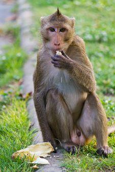 Free Monkey Eating Stock Photography - 18924432