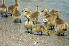 Free Canada Goose Goslings Royalty Free Stock Photography - 18925297