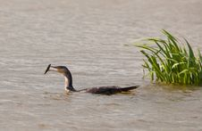 Great Cormorant Playing With Stick Royalty Free Stock Photography