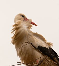 Free White Stork´s Patient Wait Stock Photography - 18925522