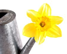 Free Daffodil Flowers. Stock Photo - 18925970