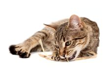 Free Tabby Cat Lying On White Royalty Free Stock Photo - 18926345