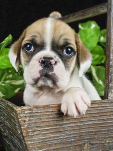 Free Bulldog Mix Puppy Royalty Free Stock Photos - 18926588
