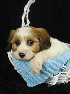 Free Cavachon Puppy Royalty Free Stock Image - 18926646